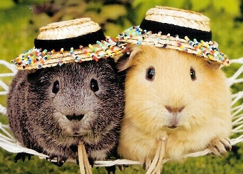 Two guinea pigs wearing hats